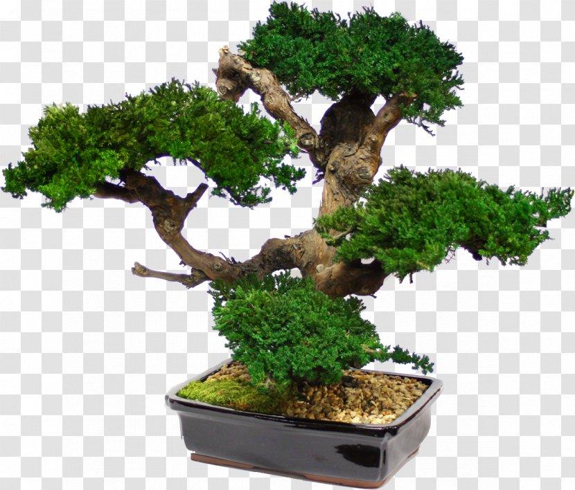 Maple Bonsai Tree